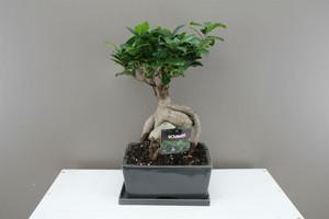 Rectangle Ficus Bonsai