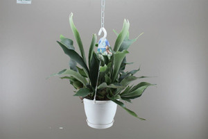 Staghorn fern with hanging basket