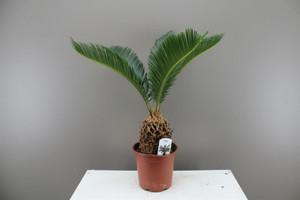 Japanese Sago Palm