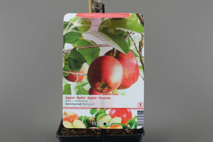 Summer Red Apple