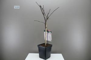 Dwarf Apple Tree