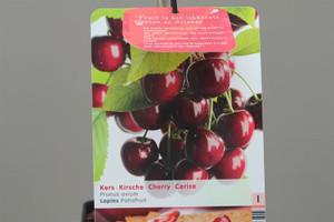 Dwarf Lapins cherry