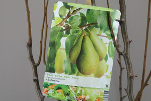 Dwarf Conference pear