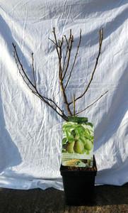 Dwarf Pear Tree