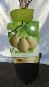 Dwarf Comice Pear