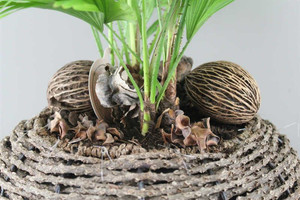 Tropical footstool palm