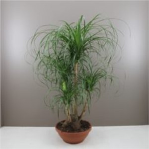 Branched Ponytail Palm in Bowl