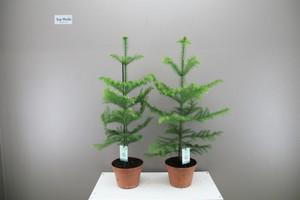 Large norfolk pine