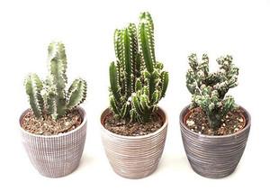 Rustic Ceramic potted Cactus