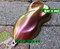 Devil's Advocate Mega Shift Intense Glitter Chameleon Paint High Quality Big Brain Coatings Graphics Extreme Shift Big Brain Graphics Front Top