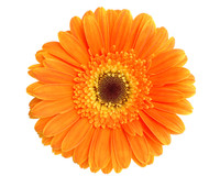 Calendula (Calendula officinalis) Herbal Infused Oil