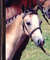 Foal In-Hand Show Halter