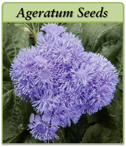 ageratum annual flower seeds