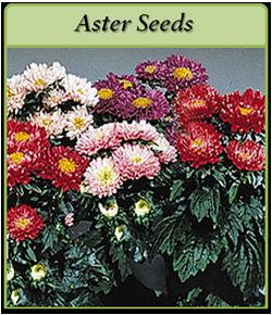aster-seeds-logo.png