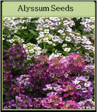 Alyssum Seeds