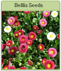 Bellis Seeds