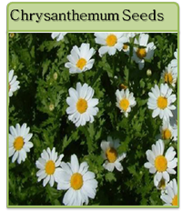 Chrysanthemum Seeds