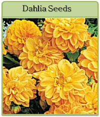 Dahlia Seeds