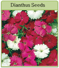 Dianthus Seeds