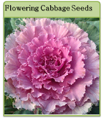 Flowering Cabbage Seeds