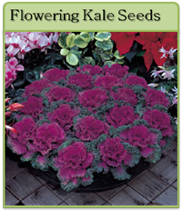 Flowering Kale Seeds