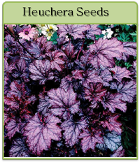Heuchera Seeds