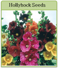 Hollyhock Seeds