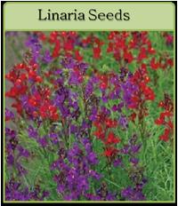 Linaria Seeds