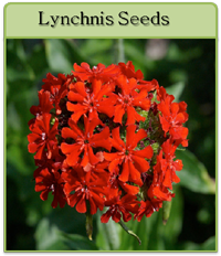 Lynchnis Seeds