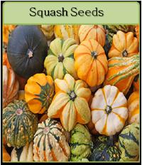 Squash Seeds