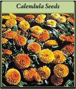 calendula-seeds.png
