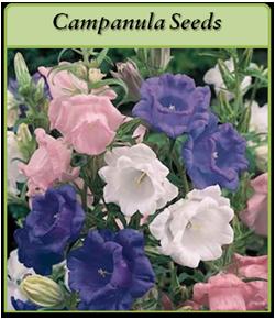 campanula-seeds.png