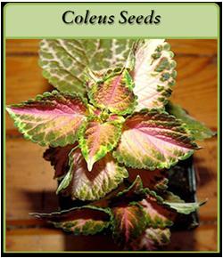 coleus-seeds-logo.png