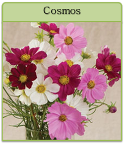 Cosmos Cut Flower Seeds