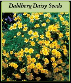 dahlberg-daisy-seeds-logo.png