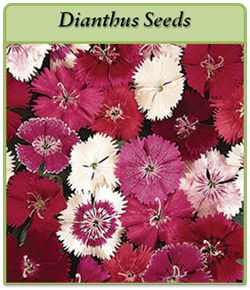 dianthus-seeds-logo.png