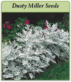 dusty-miller-seeds-logo.png