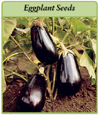 eggplant-seeds-logo.png