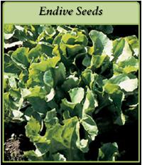 endive-seeds-logo.png