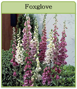 Foxglove Cut Flower Seeds