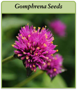 gomphrena-seeds-logo.png