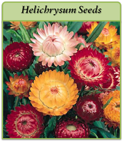 helichrysum-seeds-logo.png