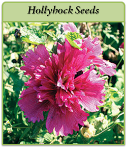 hollyhock-seeds-logo.png