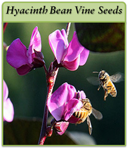 hyacinth-bean-vine-seeds-lo.png