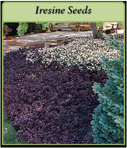 iresine-seeds-logo.png