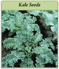 kale-seeds-logo.png