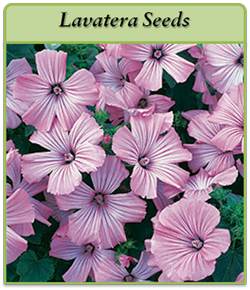 lavatera-seeds-logo.png