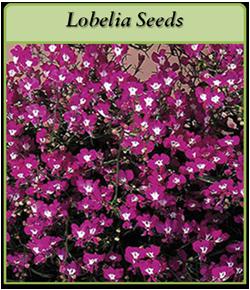 lobelia-seeds-logo.png
