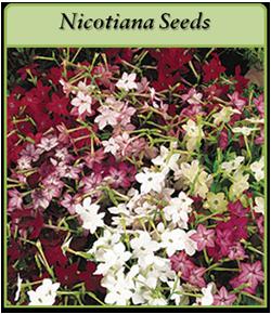 nicotiana-seeds.png