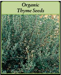 Organic Thyme Seeds